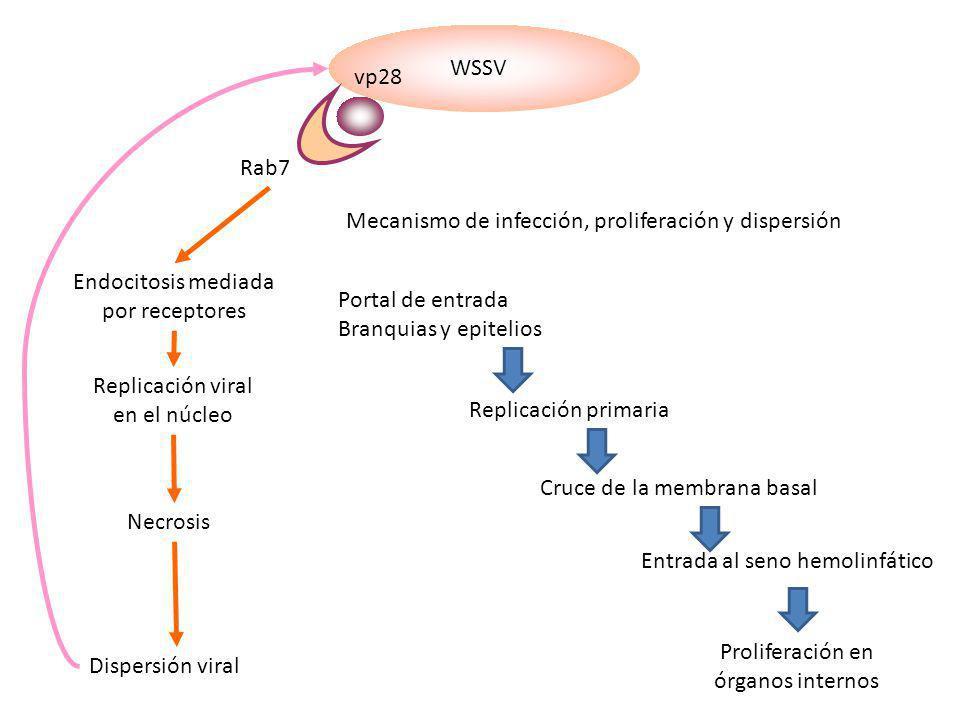 WSSV vp28 Rab7 Endocitosis mediada por receptores Replicación viral en el núcleo Necrosis Dispersión viral Mecanismo de infección, proliferación y dis