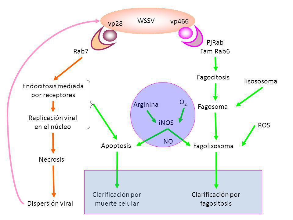 WSSV vp28 vp466 Rab7 PjRab Fam Rab6 Endocitosis mediada por receptores Replicación viral en el núcleo Necrosis Dispersión viral Apoptosis Clarificació