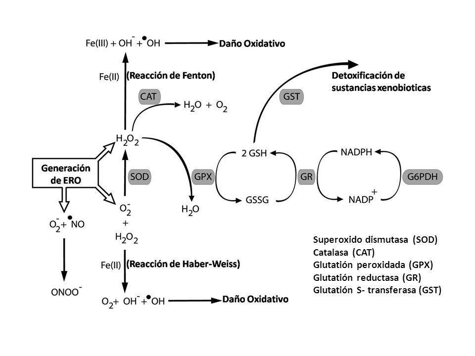 Superoxido dismutasa (SOD) Catalasa (CAT) Glutatión peroxidada (GPX) Glutatión reductasa (GR) Glutatión S- transferasa (GST)