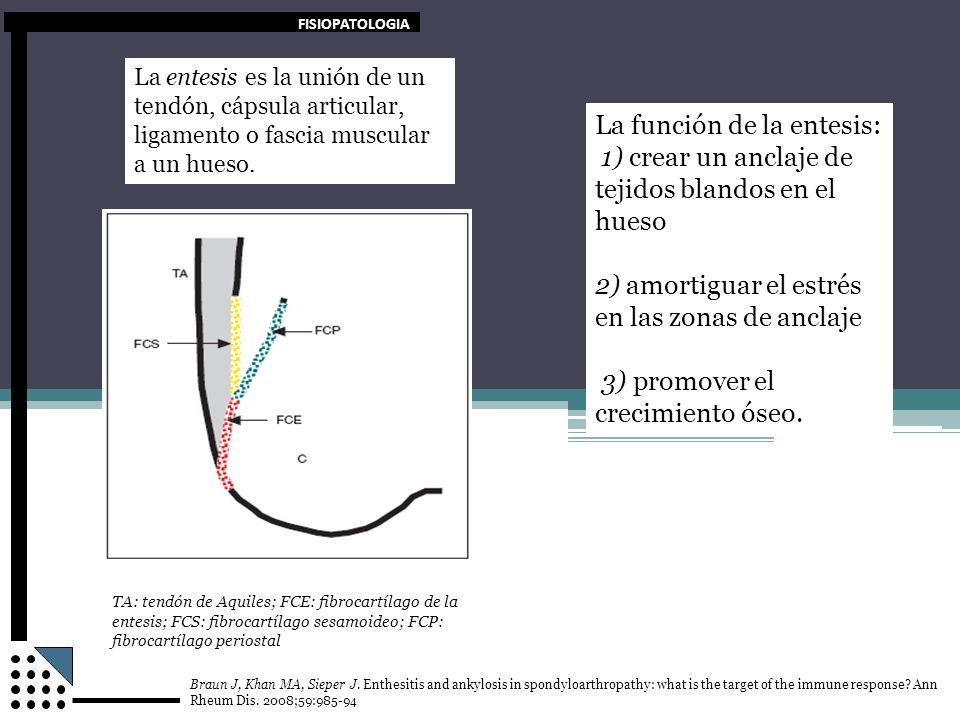 FISIOPATOLOGIA La función de la entesis: 1) crear un anclaje de tejidos blandos en el hueso 2) amortiguar el estrés en las zonas de anclaje 3) promove