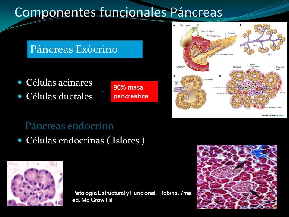 Componentes funcionales Páncreas Células acinares Células ductales Páncreas endocrino Células endocrinas ( Islotes ) 96% masa pancreática Páncreas Exò