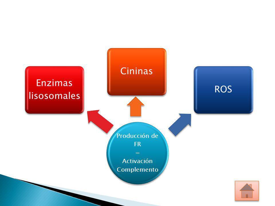Producción de FR = Activación Complemento Enzimas lisosomales CininasROS