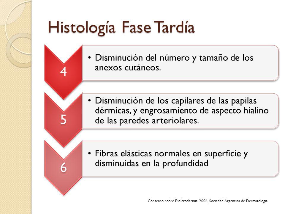Histología Fase Tardía 4 Disminución del número y tamaño de los anexos cutáneos. 5 Disminución de los capilares de las papilas dérmicas, y engrosamien