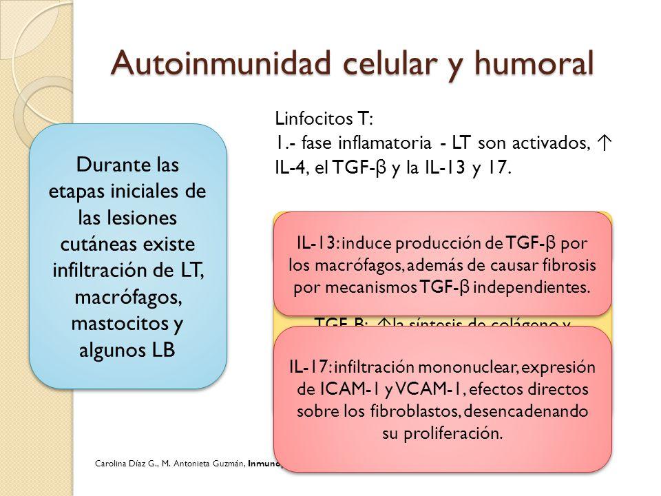 Autoinmunidad celular y humoral Durante las etapas iniciales de las lesiones cutáneas existe infiltración de LT, macrófagos, mastocitos y algunos LB L