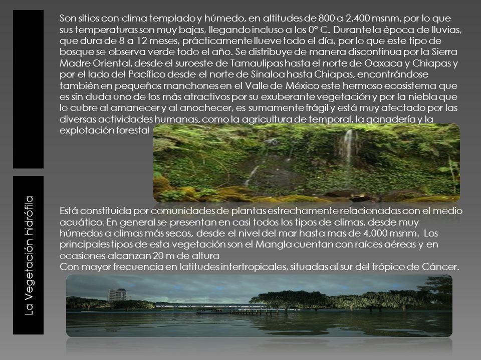 La Vegetación hidrófila Son sitios con clima templado y húmedo, en altitudes de 800 a 2,400 msnm, por lo que sus temperaturas son muy bajas, llegando