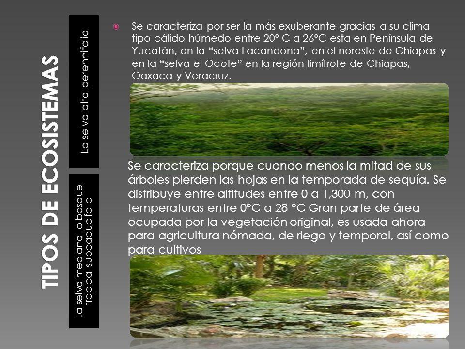 La selva alta perennifolia La selva mediana o bosque tropical subcaducifolio Se caracteriza por ser la más exuberante gracias a su clima tipo cálido h