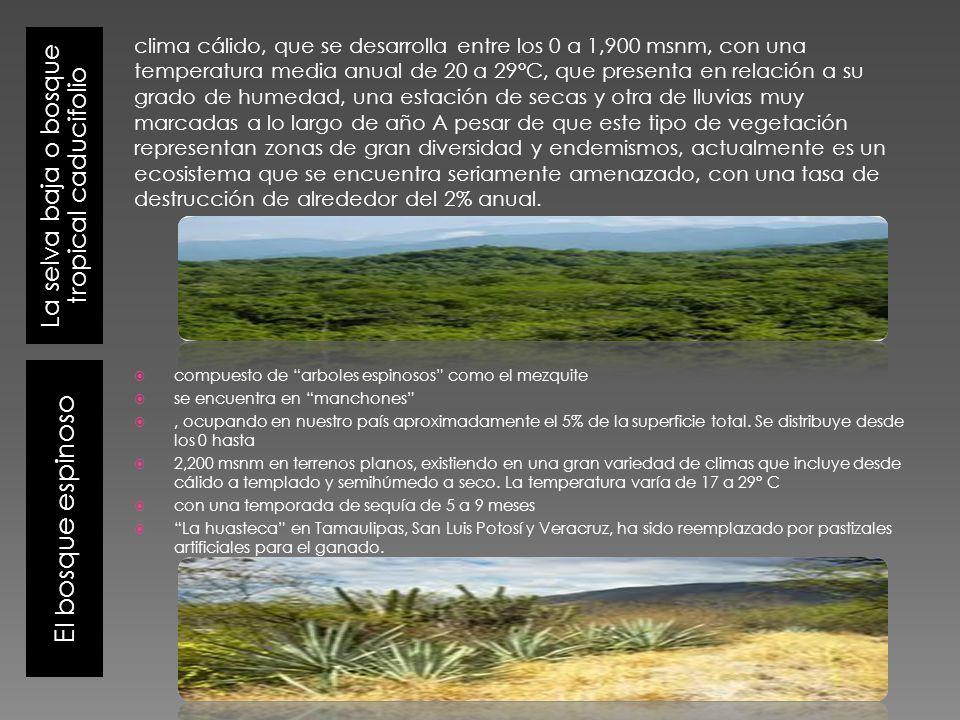 La selva baja o bosque tropical caducifolio El bosque espinoso compuesto de arboles espinosos como el mezquite se encuentra en manchones, ocupando en