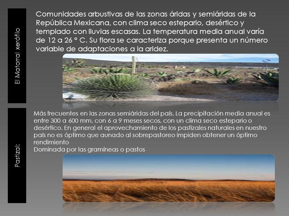 El Matorral xerófilo Pastizal: Comunidades arbustivas de las zonas áridas y semiáridas de la República Mexicana, con clima seco estepario, desértico y