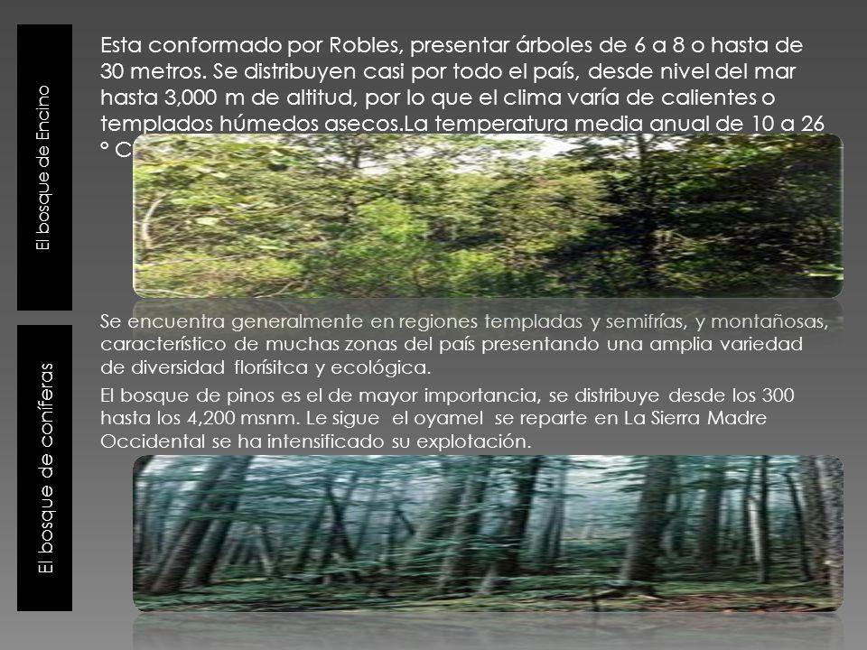 El bosque de Encino El bosque de coníferas Esta conformado por Robles, presentar árboles de 6 a 8 o hasta de 30 metros. Se distribuyen casi por todo e
