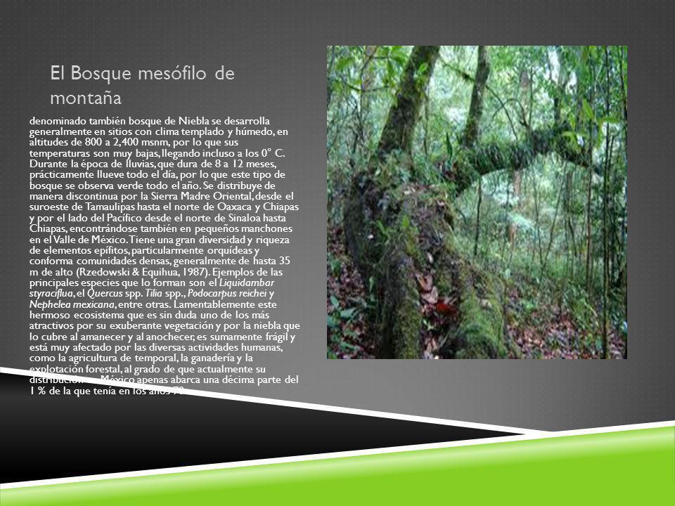 El Bosque mesófilo de montaña denominado también bosque de Niebla se desarrolla generalmente en sitios con clima templado y húmedo, en altitudes de 80