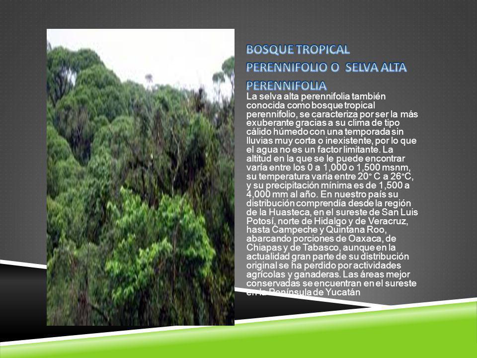 La selva alta perennifolia también conocida como bosque tropical perennifolio, se caracteriza por ser la más exuberante gracias a su clima de tipo cál