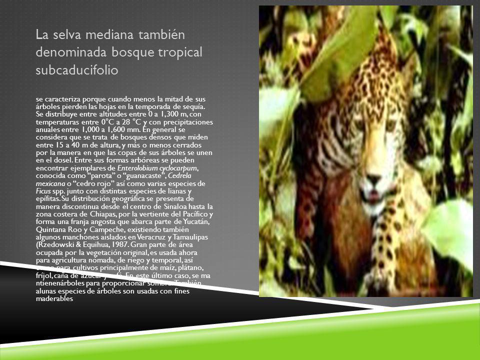 La selva mediana también denominada bosque tropical subcaducifolio se caracteriza porque cuando menos la mitad de sus árboles pierden las hojas en la