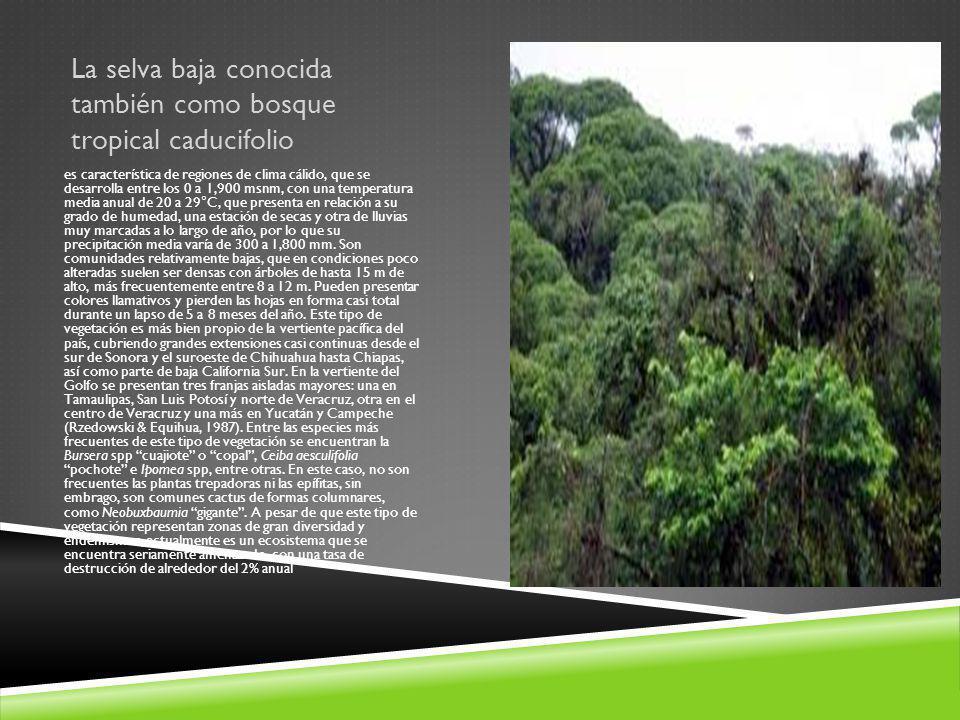 La selva baja conocida también como bosque tropical caducifolio es característica de regiones de clima cálido, que se desarrolla entre los 0 a 1,900 m
