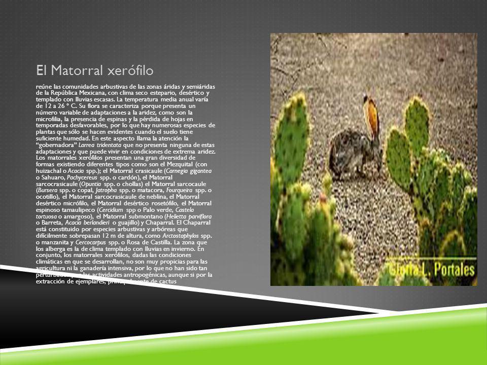 El Matorral xerófilo reúne las comunidades arbustivas de las zonas áridas y semiáridas de la República Mexicana, con clima seco estepario, desértico y