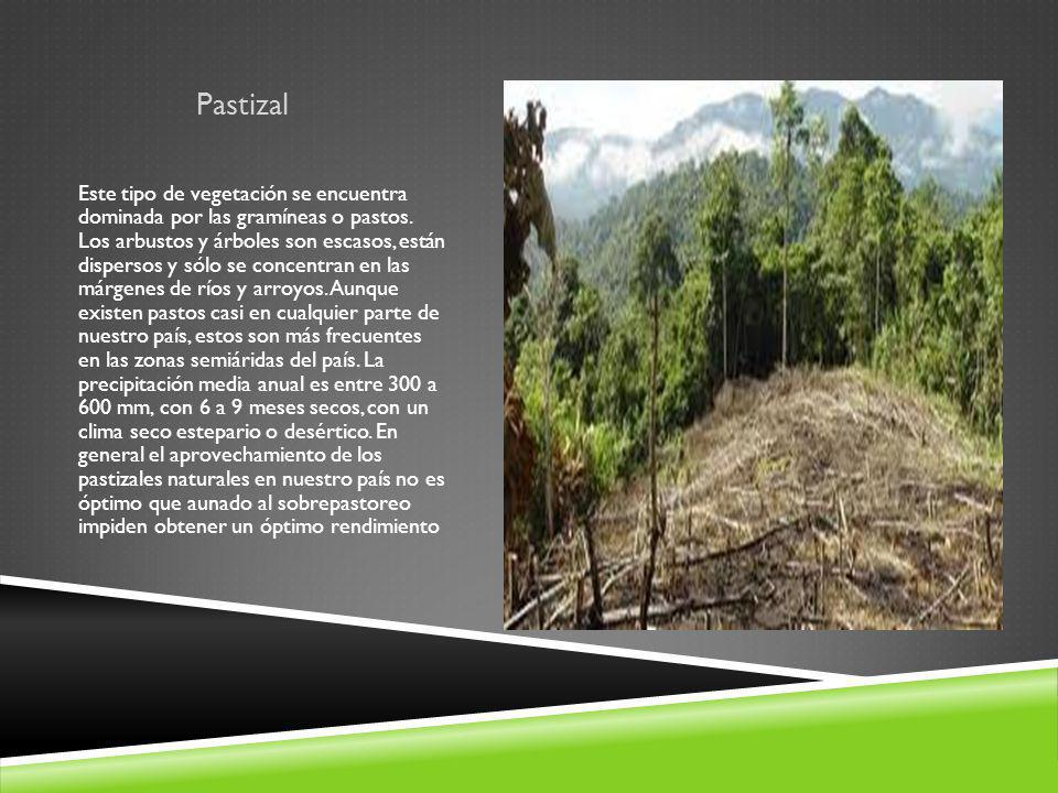 Pastizal Este tipo de vegetación se encuentra dominada por las gramíneas o pastos. Los arbustos y árboles son escasos, están dispersos y sólo se conce