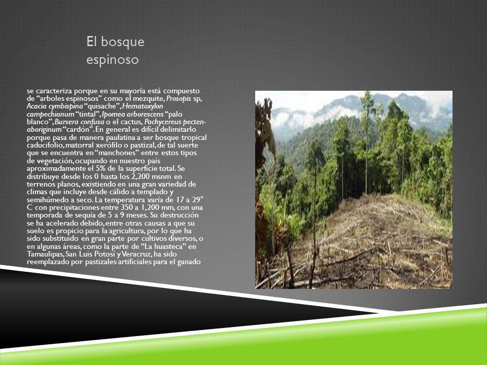 El bosque espinoso se caracteriza porque en su mayoría está compuesto de arboles espinosos como el mezquite, Prosopis sp, Acacia cymbispina quisache,