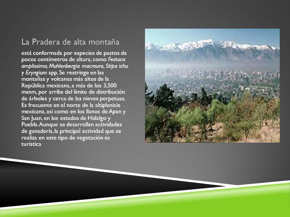 La Pradera de alta montaña está conformada por especies de pastos de pocos centímetros de altura, como Festuca amplissima, Muhlenbergia macroura, Stip