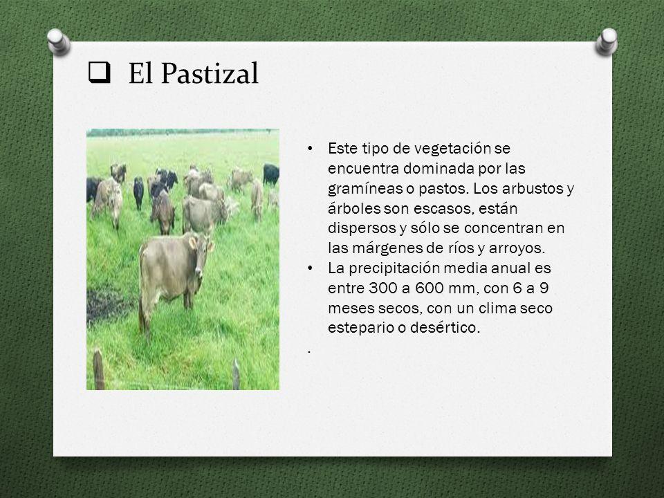 El Pastizal Este tipo de vegetación se encuentra dominada por las gramíneas o pastos.