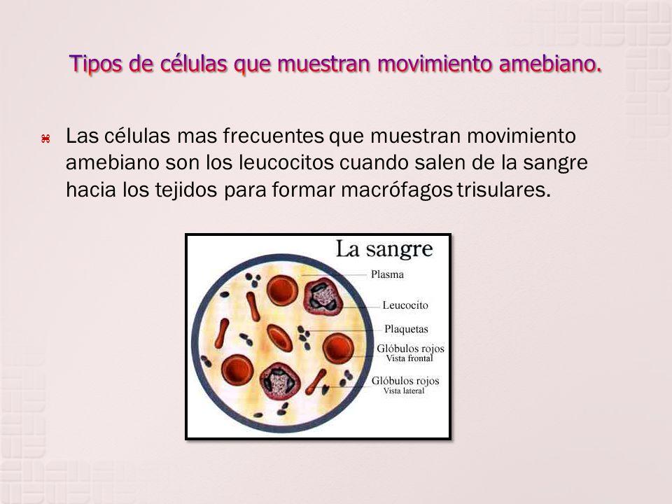 Las células mas frecuentes que muestran movimiento amebiano son los leucocitos cuando salen de la sangre hacia los tejidos para formar macrófagos tris
