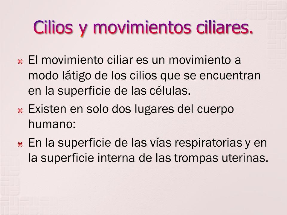El movimiento ciliar es un movimiento a modo látigo de los cilios que se encuentran en la superficie de las células. Existen en solo dos lugares del c