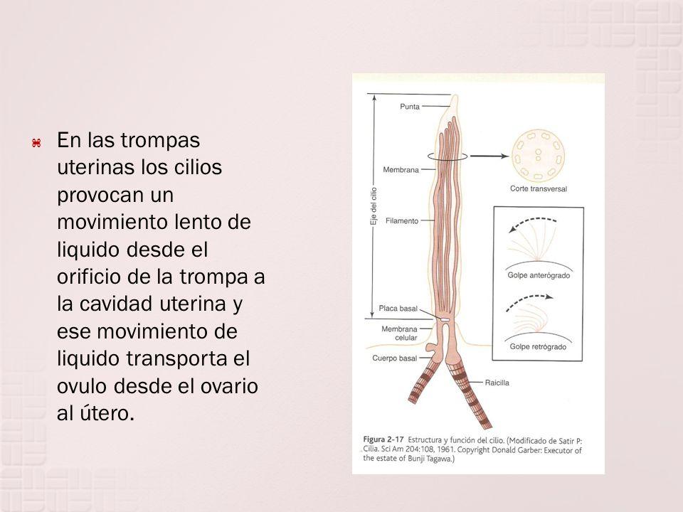 En las trompas uterinas los cilios provocan un movimiento lento de liquido desde el orificio de la trompa a la cavidad uterina y ese movimiento de liq