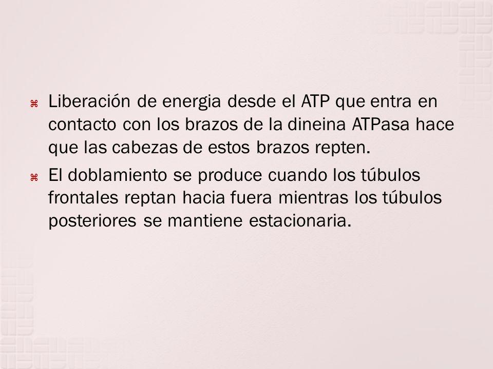 Liberación de energia desde el ATP que entra en contacto con los brazos de la dineina ATPasa hace que las cabezas de estos brazos repten. El doblamien
