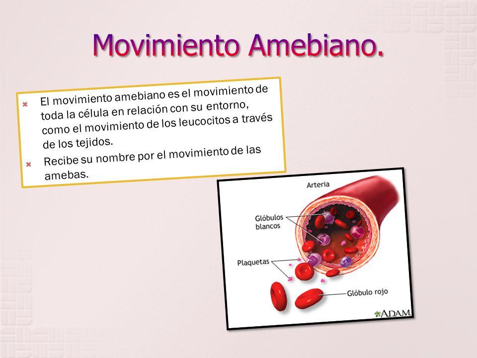 El movimiento amebiano es el movimiento de toda la célula en relación con su entorno, como el movimiento de los leucocitos a través de los tejidos. Re