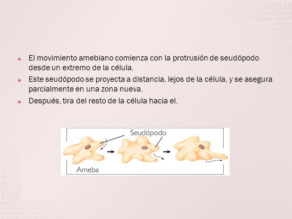 El movimiento amebiano comienza con la protrusión de seudópodo desde un extremo de la célula. Este seudópodo se proyecta a distancia, lejos de la célu