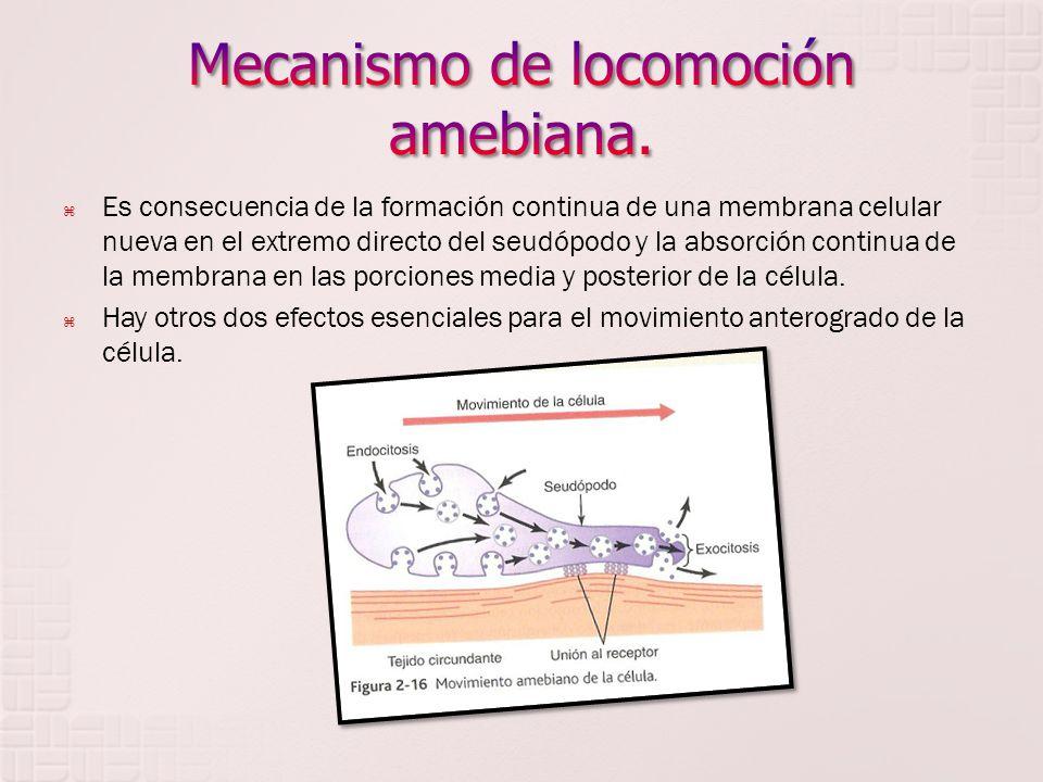 Es consecuencia de la formación continua de una membrana celular nueva en el extremo directo del seudópodo y la absorción continua de la membrana en l