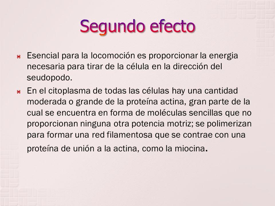 Esencial para la locomoción es proporcionar la energia necesaria para tirar de la célula en la dirección del seudopodo. En el citoplasma de todas las