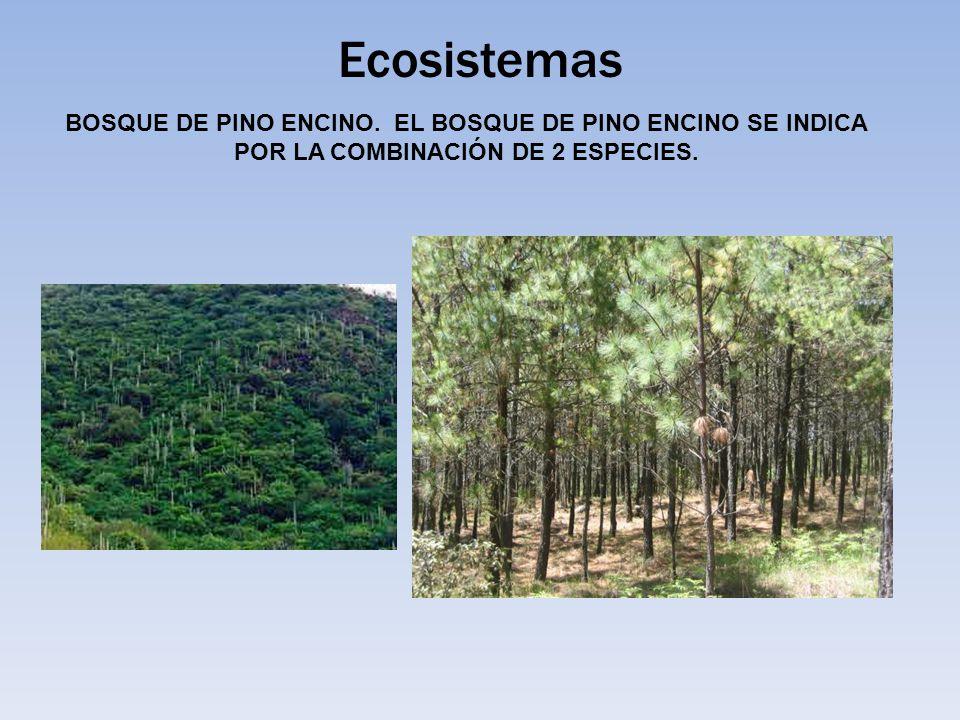 Ecosistemas BOSQUE DE PINO ENCINO. EL BOSQUE DE PINO ENCINO SE INDICA POR LA COMBINACIÓN DE 2 ESPECIES.
