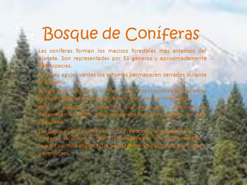 Bosque de Coníferas Las coníferas forman los macizos forestales más extensos del planeta. Son representadas por 51 géneros y aproximadamente 584 espec