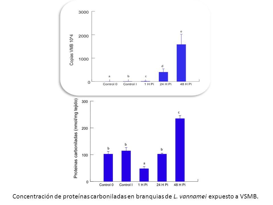 Concentración de proteínas carboniladas en branquias de L. vannamei expuesto a VSMB.