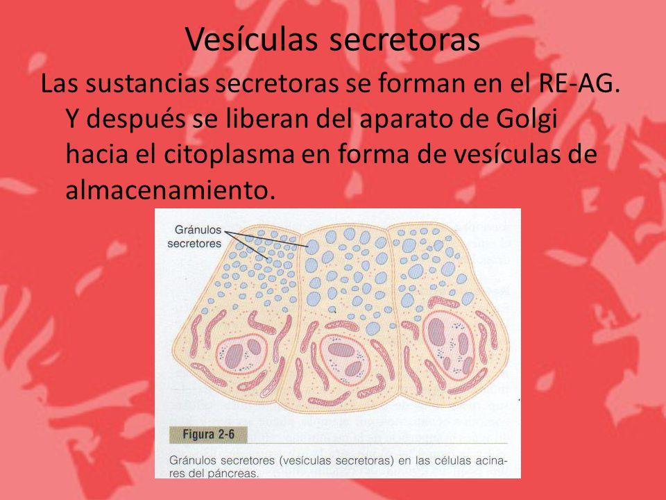 Vesículas secretoras Las sustancias secretoras se forman en el RE-AG. Y después se liberan del aparato de Golgi hacia el citoplasma en forma de vesícu