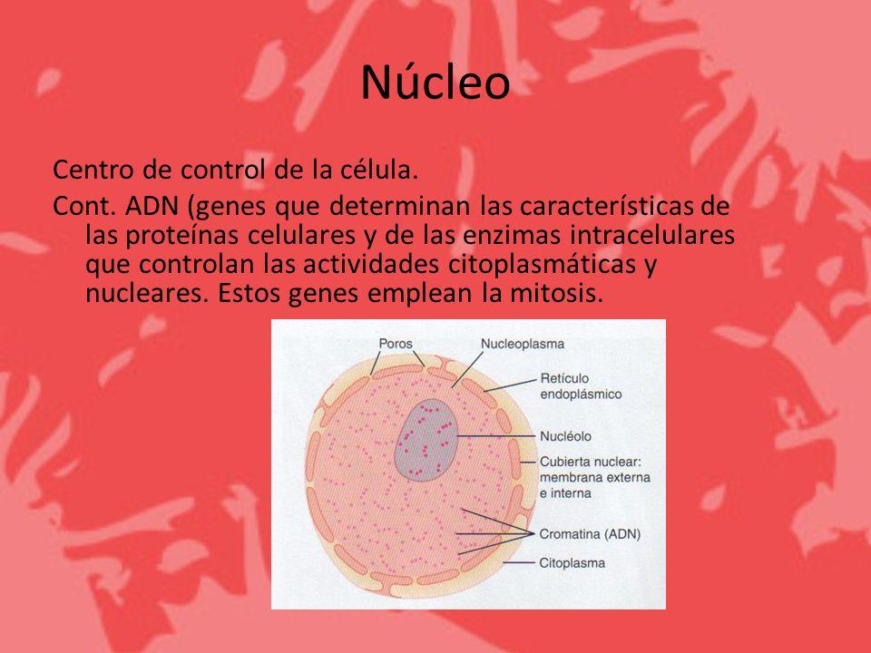 Núcleo Centro de control de la célula. Cont. ADN (genes que determinan las características de las proteínas celulares y de las enzimas intracelulares