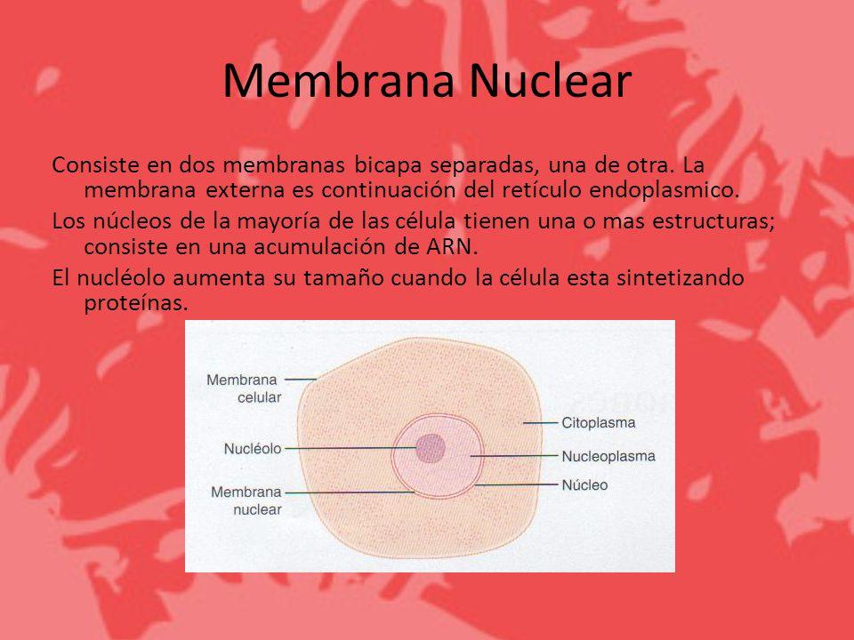 Membrana Nuclear Consiste en dos membranas bicapa separadas, una de otra. La membrana externa es continuación del retículo endoplasmico. Los núcleos d