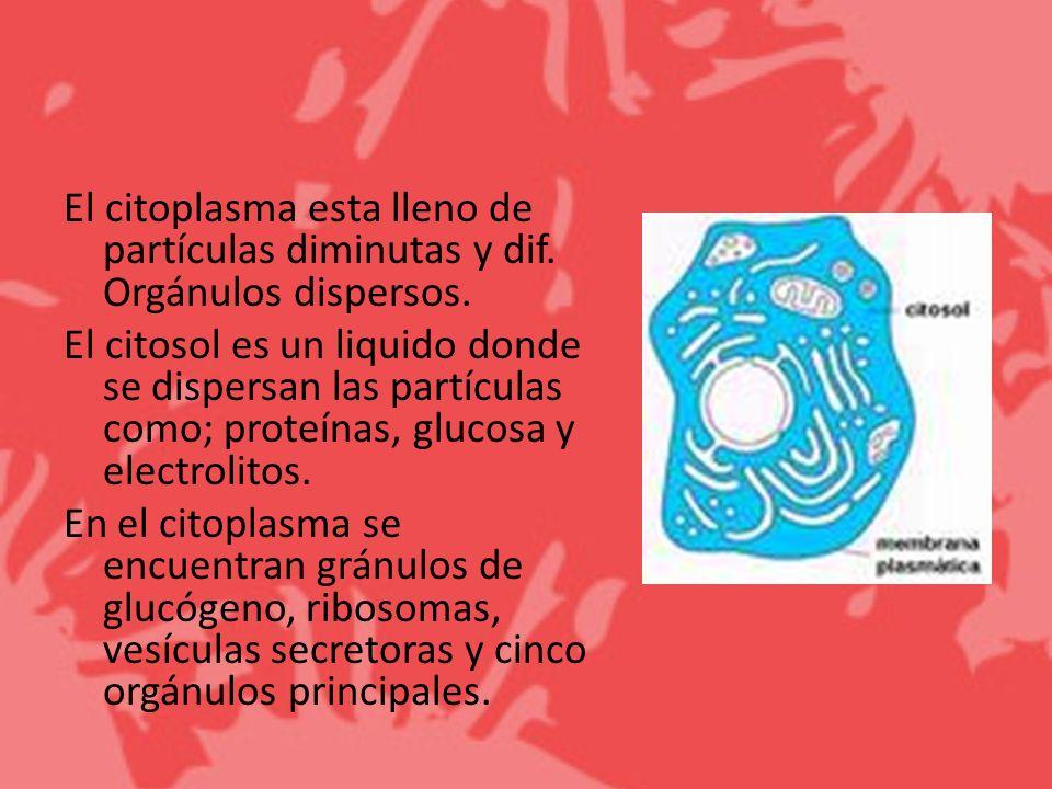 El citoplasma esta lleno de partículas diminutas y dif. Orgánulos dispersos. El citosol es un liquido donde se dispersan las partículas como; proteína