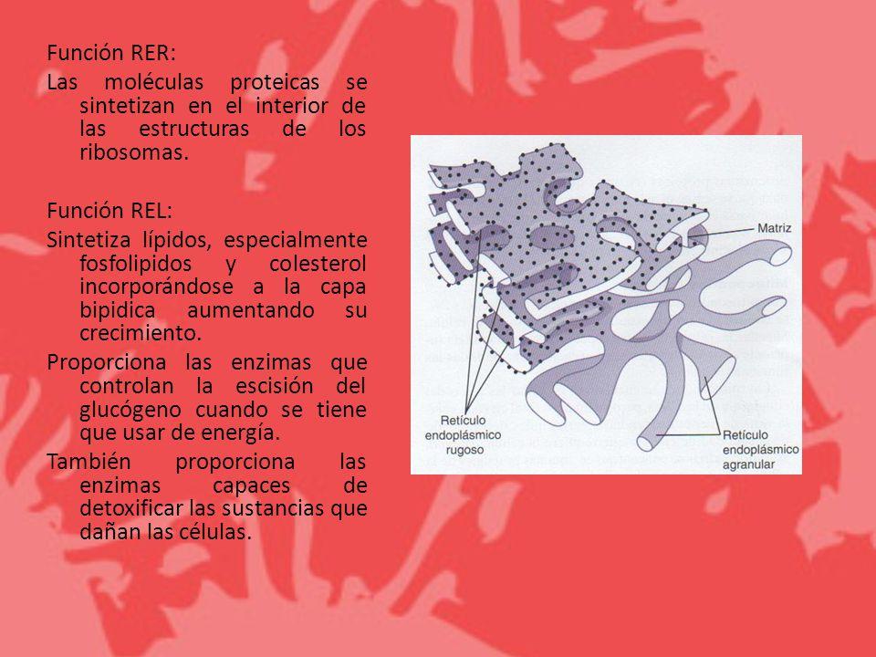 Función RER: Las moléculas proteicas se sintetizan en el interior de las estructuras de los ribosomas. Función REL: Sintetiza lípidos, especialmente f