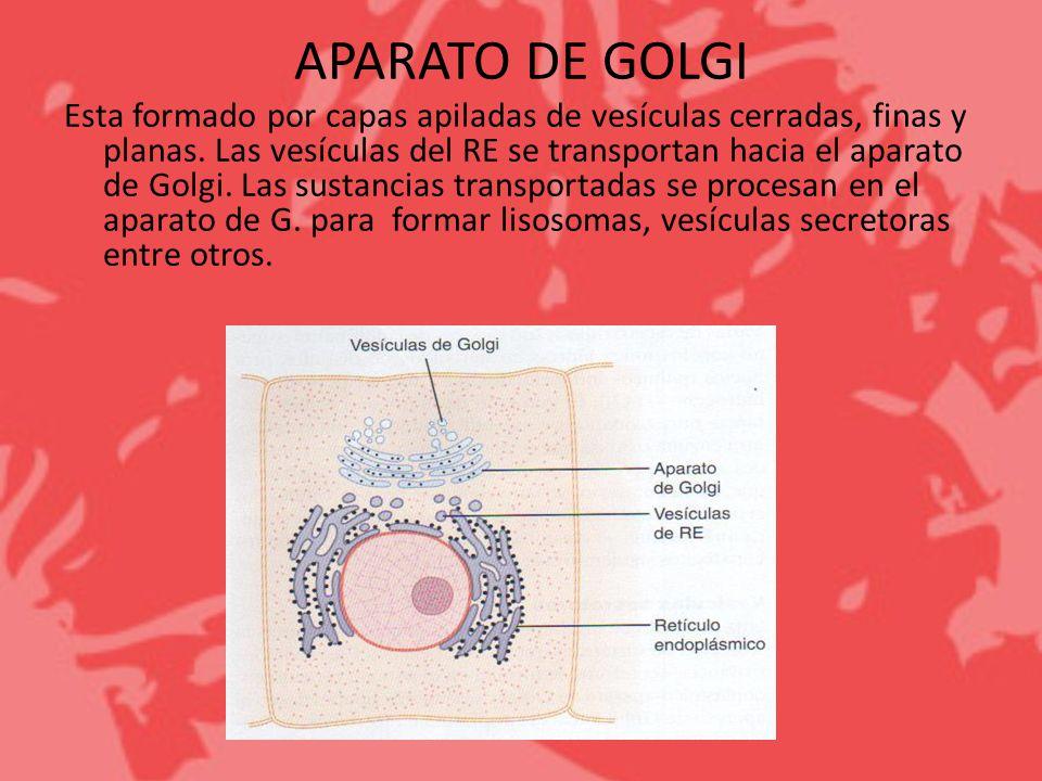 APARATO DE GOLGI Esta formado por capas apiladas de vesículas cerradas, finas y planas. Las vesículas del RE se transportan hacia el aparato de Golgi.