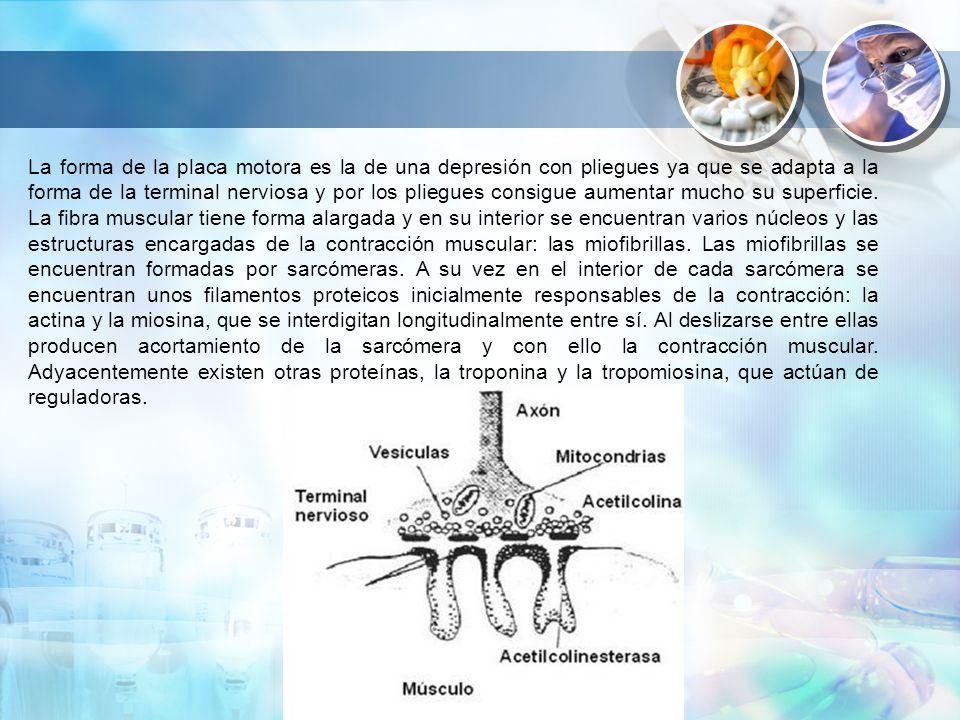 La forma de la placa motora es la de una depresión con pliegues ya que se adapta a la forma de la terminal nerviosa y por los pliegues consigue aumentar mucho su superficie.