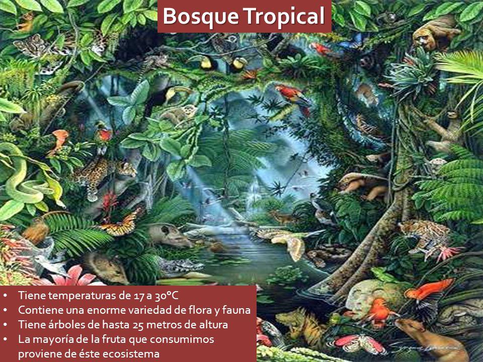 Bosque Tropical Tiene temperaturas de 17 a 30°C Contiene una enorme variedad de flora y fauna Tiene árboles de hasta 25 metros de altura La mayoría de la fruta que consumimos proviene de éste ecosistema