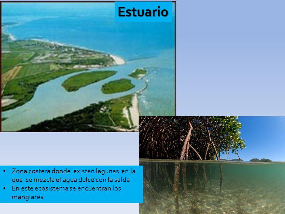 Estuario Zona costera donde existen lagunas en la que se mezcla el agua dulce con la salda En este ecosistema se encuentran los manglares