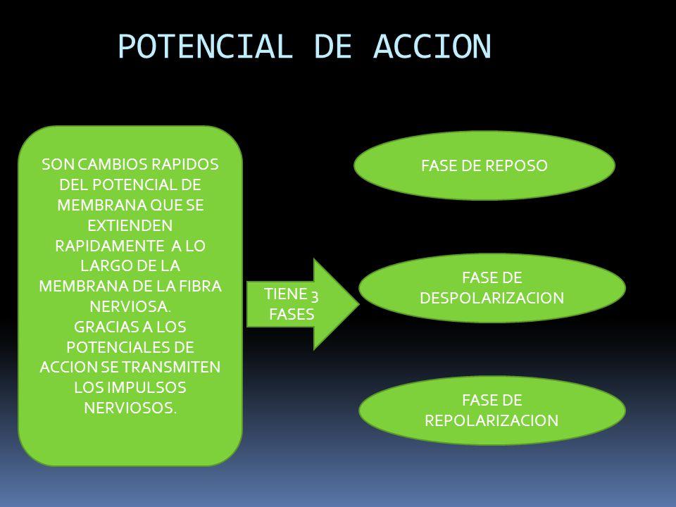 POTENCIAL DE ACCION SON CAMBIOS RAPIDOS DEL POTENCIAL DE MEMBRANA QUE SE EXTIENDEN RAPIDAMENTE A LO LARGO DE LA MEMBRANA DE LA FIBRA NERVIOSA. GRACIAS