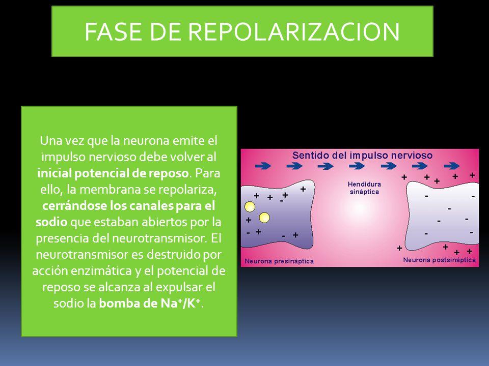 FASE DE REPOLARIZACION Una vez que la neurona emite el impulso nervioso debe volver al inicial potencial de reposo. Para ello, la membrana se repolari