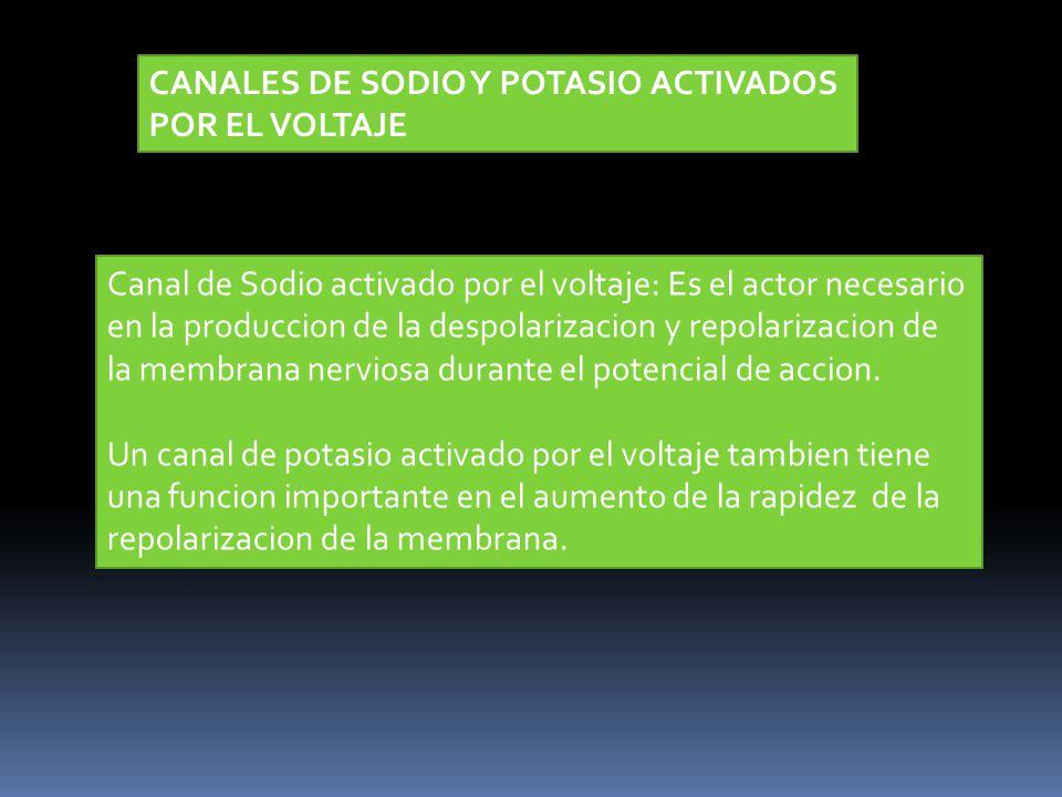 CANALES DE SODIO Y POTASIO ACTIVADOS POR EL VOLTAJE Canal de Sodio activado por el voltaje: Es el actor necesario en la produccion de la despolarizaci