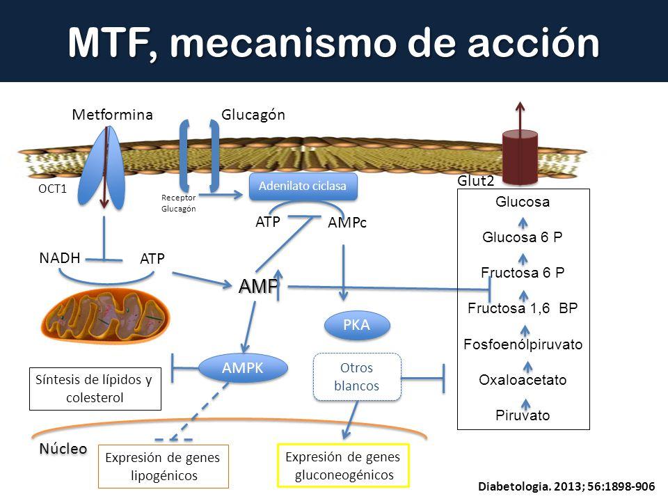 MTF, mecanismo de acción Metformina OCT1 NADH ATP AMP AMPc Adenilato ciclasa PKA AMPK Expresión de genes lipogénicos Expresión de genes gluconeogénico