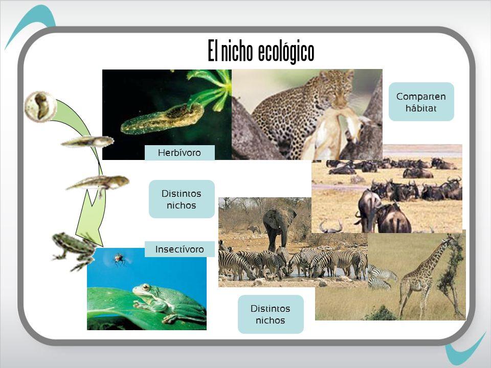 El nicho ecológico Herbívoro Insectívoro Distintos nichos Comparten hábitat Distintos nichos