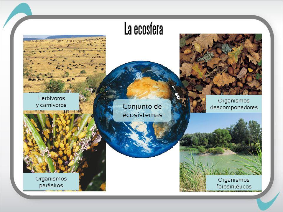 La ecosfera Conjunto de ecosistemas Organismos fotosintéticos Organismos parásitos Organismos descomponedores Herbívoros y carnívoros