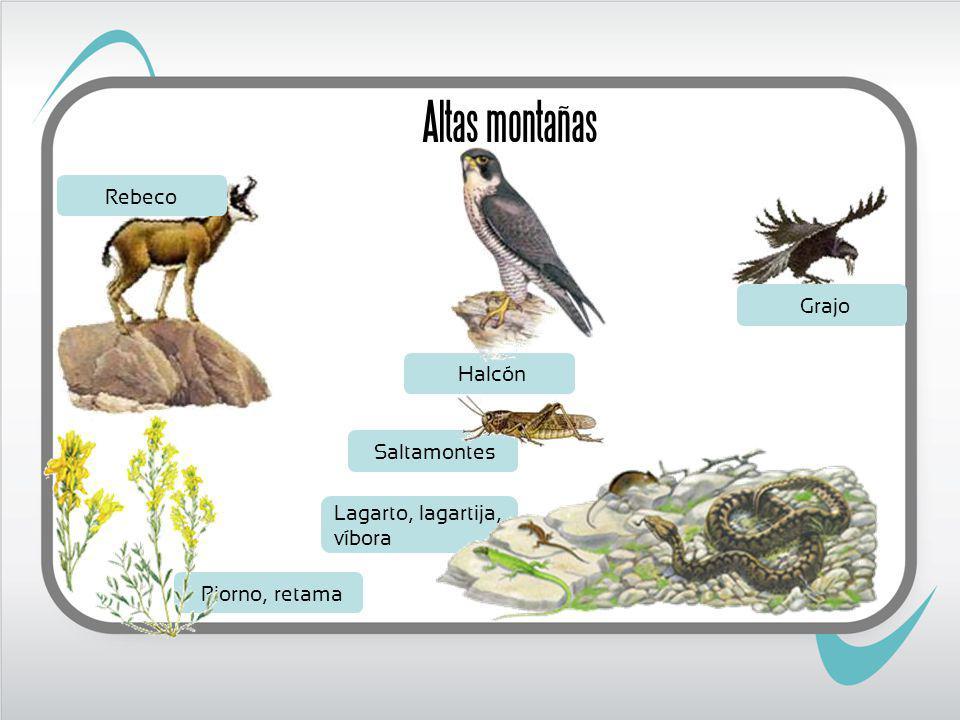 Piorno, retama… Lagarto, lagartija, víbora Saltamontes Grajo Halcón Rebeco Altas montañas