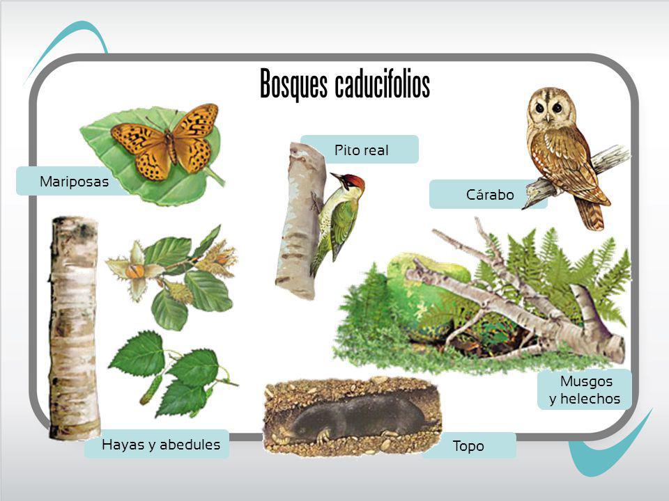Mariposas Musgos y helechos Pito real Hayas y abedules Topo Cárabo Bosques caducifolios